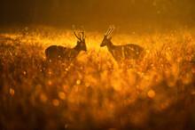 Males Hog Deer Fighting In The Grassland At Sunrise.