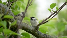 Adult Black-capped Chickadee Feeds A Fledgling Insects In A Tree In Slow Motion
