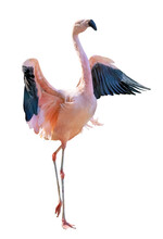 Single Pink Flamingo With Spread Wings