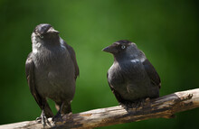 Two Birds Sitting On A Branch Over Green Background. Western Jackdaw (Corvus Monedula)