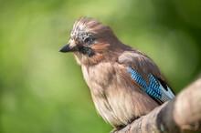 Jay Bird (Garrulus Glandarius) Sitting On A Branch Over Green Background