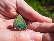 Macro Of Beautiful Butterfly - The Green Hairstreak (Callophrys Rubi) On A Childs Hand With Closed Wings With Visible Iridescent Green Colour Of The Undersides