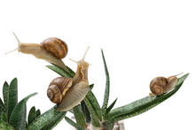 Three Large Snails Sit On Aloe Leaves, Like A Snail Farm, Concept, On A White Background, Close-up