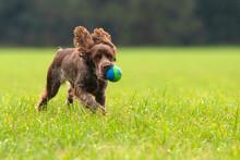 Cockerspaniel Jung Hund, Am Spielen Auf Der Wiese Mit Einem Ball Im Lauf