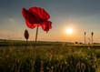 czerwony polny mak na tle słonecznego nieba