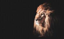 Lion Face Portrait On Black Background