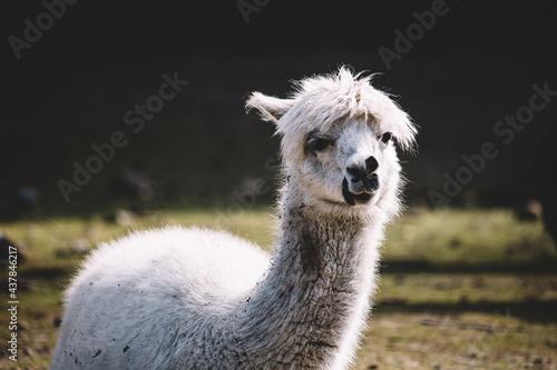 Fototapeta premium Alpaca portrait