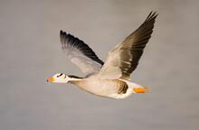 Bar-headed Goose In Flight
