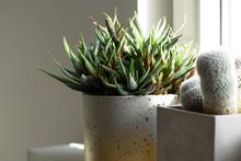 Haworthia Fasciata, Beautiful Succulent Plant Standing On A Windowsill In Raw, Golden Concrete Pot.
