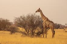 Giraffe (giraffa Camelopardalis) On The Savannah In The Dry Season In Etosha National Park, Namibia