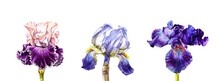 Cute Poster Of Three Irises Of Different Colors And Types On An Isolated White Background. Watercolour. Colored Pencils. The Poster. Illustration. Banner. Postcard. Wallpaper. Calendar.