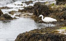 Little Egret Fishing From Rocks