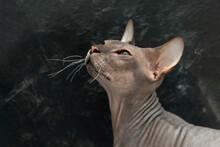 Shot  Of Don Sphinx Kitten Against Dark Background