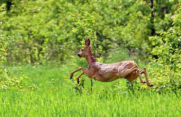 Dzika natura uciekający młody kozioł sarny