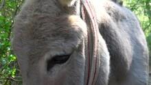 Yumaklar, Antalya, Turkey - 28th Of May 2021: 4K Viewing Into Eyes Of A Friendly Donkey