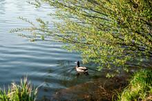 Duck Swims Near The Shore Under A Bush