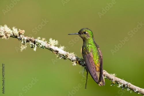 Fototapeta premium Bruinstaart-hoornkolibrie, Buff-tailed Coronet, Boissonneaua flavescensa