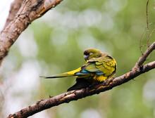 Holenparkiet, Burrowing Parrot, Cyanoliseus Patagonus