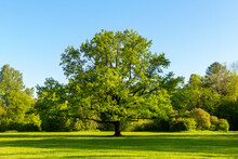 Large Oak Tree With Green Leaves In A Meadow