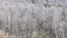Panoramic View Of Bare Trees In Forest In Spring