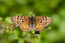 Melitaea Didyma, The Spotted Fritillary, Orange Butterfly With Black Dots On Green Background, Animal Concept.