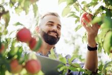 Big Harvest, Gardening And Seasonal Business, Successful Fruit Farm