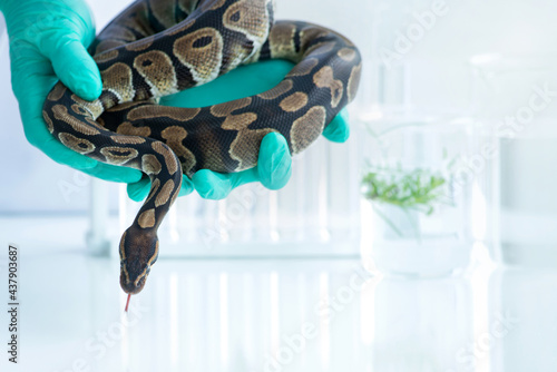 Scientists are working to study snakes in the lab, study of biology on reptiles