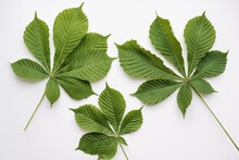 Chestnut Leaves On A White Background, Green Chestnut Leaves, Green Leaves