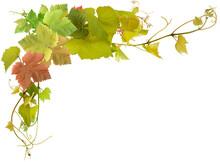 Feuilles Et Pampres De Vigne, Fond Blanc