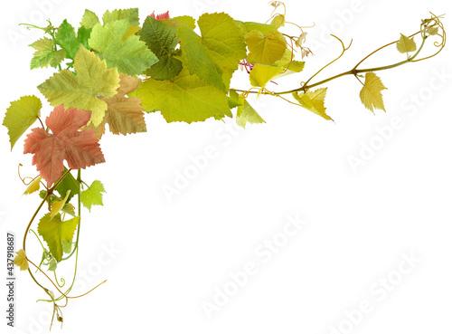Photo Feuilles et pampres de vigne, fond blanc