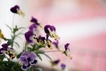 Preciosas Flores De Pensamiento Amarillas Y Violetas Con Un Fondo Desenfocado