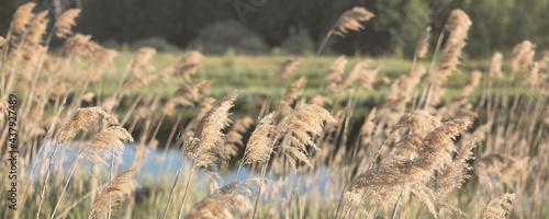 Fotografie, Obraz Pampas grass on the river in summer