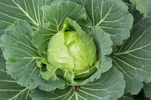 Head Of Cabbage On The Field