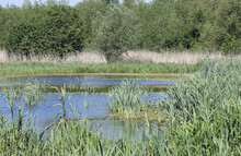 Pond With Invading Reed Mace