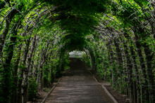 Green Tunnel Passage Made Of Overgrown Plants And Green Leaves. Arched Hedge Made From Pergola In A Garden