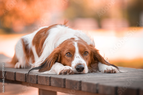 Fotografie, Obraz kooikerhondje is lying on the bench. He is so cute dog.