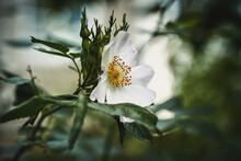 Macro Photo Of Cherokee Rose (rosa Laevigata)
