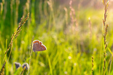 Butterfly Plebejus Argus Rests And Sits On The Grass On A Blurred Green Background In The Rays Of The Setting Sun At Sunset. A Common Small Butterfly In Its Natural Habitat. Place For An Inscription
