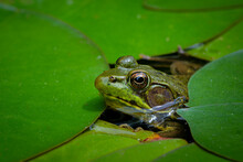 Green Frog (Lithobates Clamitans Or Rana Clamitans) Peeking Through Patch Of Water Lily Pads In Pond In Central Virginia In Spring.