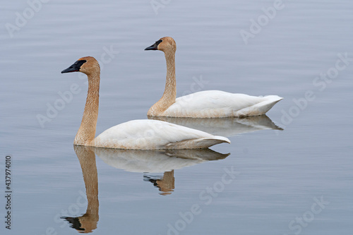 A Pair of Migrating Tundra Swans on the Mississippi Flyway #437974010