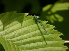 Azure Damselfly - Male (Coenagrion Puella) - Blue Damselfly On Green Leaf, Poland