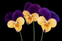 Purple Yellow Wild Pansy Flowers Isolated On Black Background
