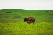 Buffalo Calf Nursing In The Field