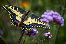 Swallowtail Butterfly On Verbena