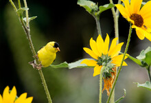 A Bright Yellow Goldfinch Next To A Bright Yellow Sunflower In Huntington Beach Park