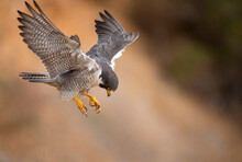 Peregrine Falcon Just About To Land In San Pedro California Seems Like In Hovering Flight