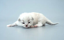 Ragdoll Kittens Isolated On Light Blue Background