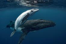 Female Humpback Whale With Calf