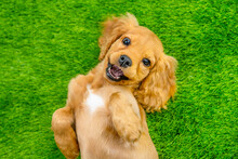 English Cocker Spaniel Puppy Lying On His Back On A Green Lawn With A Smile Looking Into The Frame. Top View