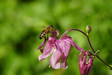 Western Honey Bee Or European Honey Bee (Apis Mellifera) On Pink Flowers Of European Columbine (Aquilegia Vulgaris), Family Ranunculaceae. Spring In A Dutch Garden.